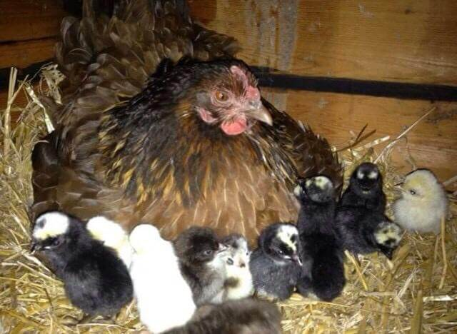 A family grew vegetables and kept chickens during lockdown
