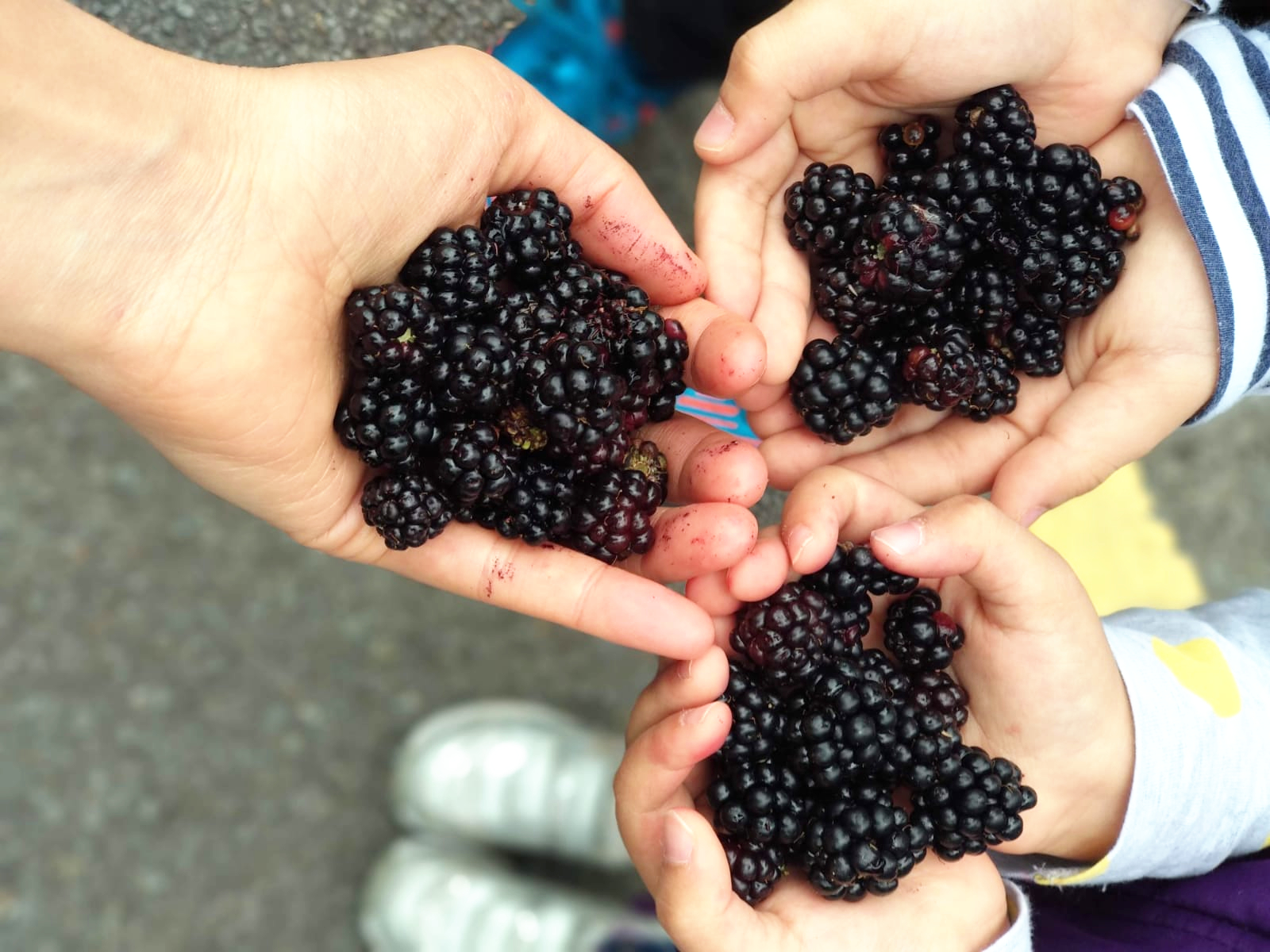 Children's hands are filled with blackberries