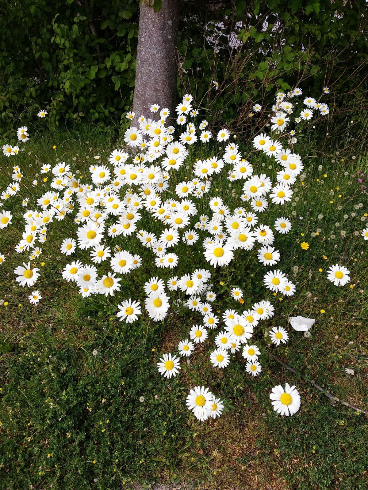 A group of daisies in the wild