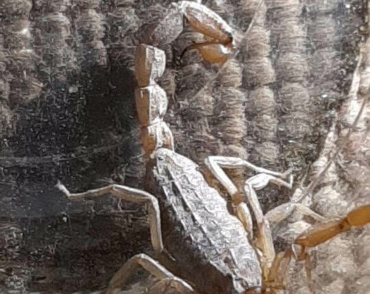 A scorpion found under a bed in Samos refugee camp, Greece, May 2020